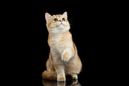 front raise: British breed Cat Gold Chinchilla color Sitting, Looking up and Raising up paw Isolated Black Background, front view