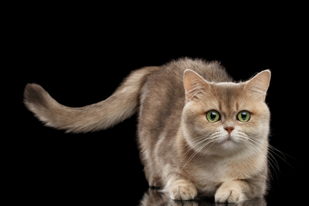 furry tail: Furry British Cat Gold Chinchilla color with Green eyes Lying and Raising Tail, Isolated Black Background, Front view