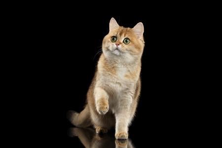 쾌활 한 영국 고양이 녹색 눈을 가진 골드 친 칠 라 색상 서 고 발바리를 높이기, 격리 된 검정색 배경, 전면보기