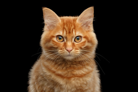 kurilian bobtail: Close-up Portrait of Ginger Kurilian Bobtail Cat Curious Looking in Camera on Isolated Black Background, Front view