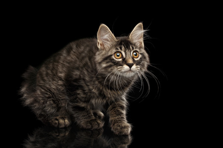 kurilian bobtail: Cute crouched Kurilian Bobtail Kitty with Big Round eyes Curious Looking up, Isolated Black Background, Front view, Funny Cat Face, without tail