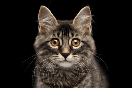 Close-up portret van schattige Kurilian Bobtail Kitty met grote ronde ogen Nieuwsgierig kijken in de camera, geïsoleerde zwarte achtergrond, vooraanzicht, Funny Face Kat, aanbiddelijk katje snorhaar