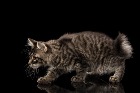 kurilian bobtail: Hunting crouched Kurilian Bobtail Kitty, Isolated Black Background, Side view, Funny Tabby Cat without tail