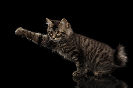 nonexistent: grabbing Kurilian Bobtail Kitty Raising paw, Isolated Black Background, Side view, Funny Hanting Tabby Cat without tail