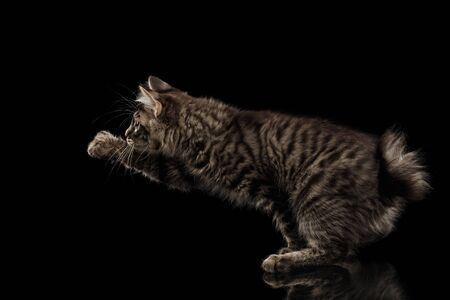 bobtail: grabbing Kurilian Bobtail Kitty Raising paw, Isolated Black Background, Side view, Funny Hanting Tabby Cat without tail