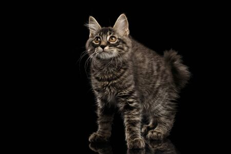 kurilian bobtail: Cute crouched Kurilian Bobtail Kitty with Big Round eyes Curious Looking up, Isolated Black Background, Side view, Funny Cat Face, without tail