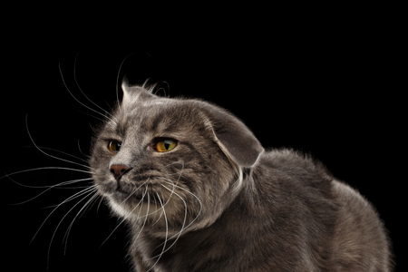 kurilian bobtail: Closeup Portrait of Shake Head Cat with Yellow eyes Curious Looks, Isolated Black Background, Front view, Funny Cat Face, Cute Cat Stock Photo