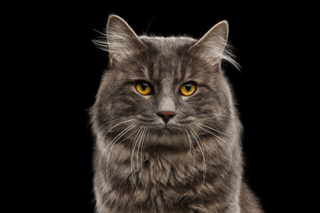 kurilian bobtail: Closeup Portrait of Cute Kurilian Bobtail Cat with Yellow eyes Curious Looking in Camera, Isolated Black Background, Front view, Funny Cat Face, Adorable Cat