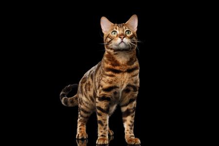 statige Bengalen Mannelijke Kat met mooie plekjes staan en kijken omhoog op geïsoleerde zwarte achtergrond, vooraanzicht, Gorgerous ras Stockfoto