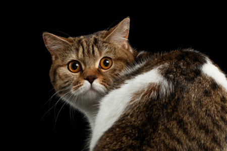 animal eye: Close-up Frightened Scottish Straight Cat Turned back Head on Isolated Black Background, Back view, Curious Looks, Tabby with white Cat Stock Photo