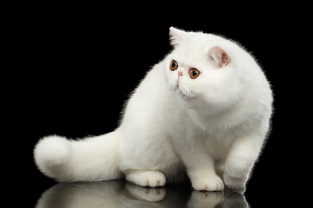 furry tail: Unusual Pure White Exotic Cat Standing with Big Red Eyes on Isolated Black Background, Front view, Furry Tail Stock Photo
