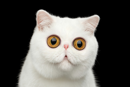 horrify: Close-up Funny Portrait of surprised Pure White Exotic Cat Head on Isolated Black Background, Front view, Curious fascinated Looks, Huge Eyes