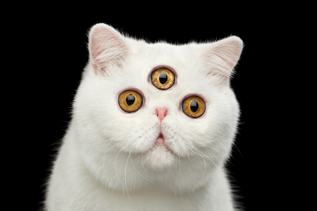 Close-up Portrait of predictor Pure White Exotic Cat with Three eyes Head, Isolated Black Background, Front view, Curious fascinated Looks, third eye on forehead Archivio Fotografico