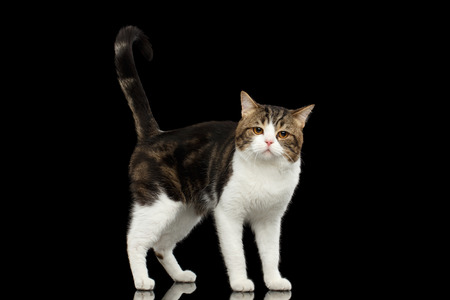 Sad Scottish Straight Cat White with Brown tabby Standing in Isolated Black Background, Profile view, Tail up Stock Photo