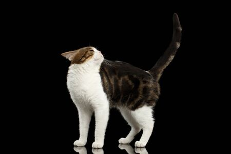 back of head: Funny Scottish Straight Cat, White with Brown tabby Standing on Isolated Black Background, Profile view, Raising back head and Tail Stock Photo