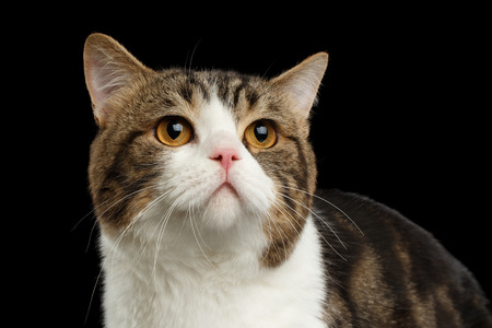 melancholy: Closeup Face of Sad Scottish Straight Cat, White with Brown tabby, Isolated Black Background, Front view, melancholy Looking up