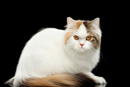 grumpy: Portrait of Mad Scottish Highland Straight Cat, White with Red Color of Fur, Sitting and Curious Looks, Isolated Black Background, Side view, Grumpy Face