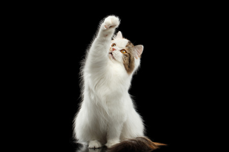 scottish straight: Catching Scottish Highland Straight Cat, White with Red Color of Fur, Sitting and Raising up paw, Isolated Black Background, Front view, Mad Looks Stock Photo