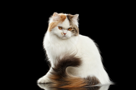 Portrait of Angry Scottish Highland Straight Cat, waving his tail, White with Red Color of Fur, Isolated Black Background, Side view, Grumpy Face 스톡 콘텐츠