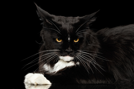 gaze: Closeup Portrait of Angry Black Maine Coon Cat, Yellow eyes, Gaze Looking in Camera, Isolated Black Background, Side view Stock Photo