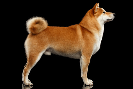 pedigreed: Cute pedigreed Red Shiba inu Breed Dog Standing on Isolated Black Background, Side view