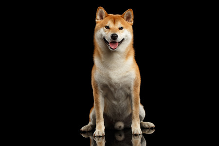 pedigreed: pedigreed Shiba inu Dog Sitting and Smiling, Looks Curious on Isolated Black Background, Front view