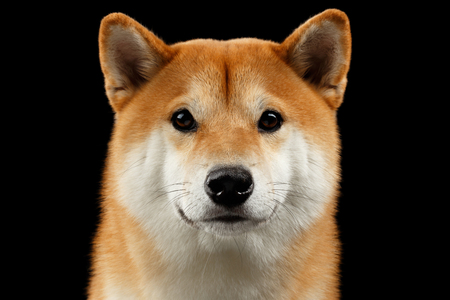 Close-up Portrait of head Shiba inu Dog, Looks Curious in Camera, Isolated Black Background, Front view, Sad Eyes