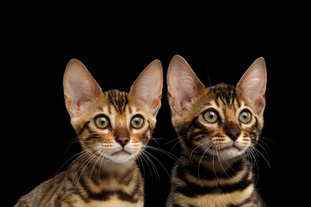 Closeup Portrait of Two Young Bengal Kittens on Isolated Black Background, Front view, Sister and Brother, wild breed with tabby gold fur Banco de Imagens