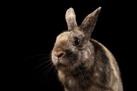 horrify: Closeup Head Funny Little rabbit, Brown Fur, isolated on Black Background, Front view Stock Photo