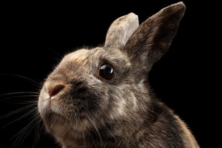 クローズ アップ頭おかしい小さなウサギ、茶色の毛皮、黒背景、縦断ビュー上で分離 写真素材