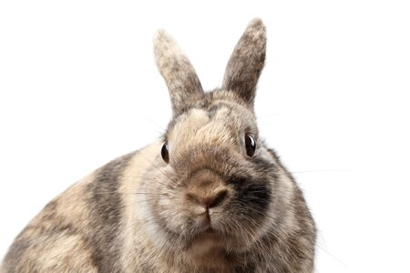 Closeup Head Furry Little rabbit, Brown Fur, isolated on white Background, Front view