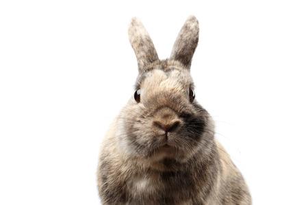 Close-up Hoofd Harig klein konijn, Bruin die Bont, op witte Achtergrond, vooraanzicht wordt geïsoleerd