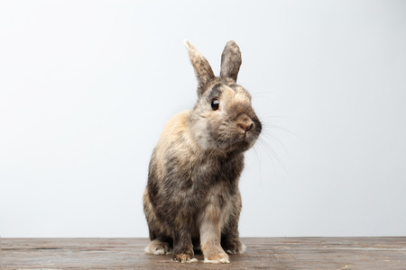 horrify: Cute Little rabbit with Brown Fur Sitting on Wood, white Background