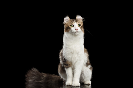 american curl: American Curl Cat Breed with twisted Ears, Sitting in front of Black Isolated background Stock Photo