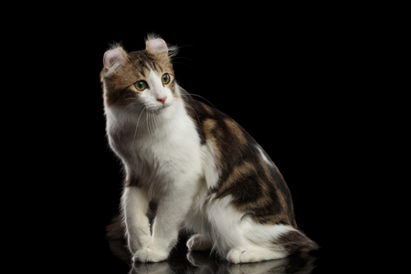 American Curl Cat Breed with twisted Ears, Sitting in front of Black Isolated background Stock Photo