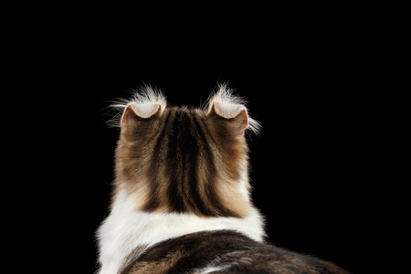 american curl: Closeup Portrait of American Curl Cat Breed with twisted Ears, on Black Isolated background, Back view