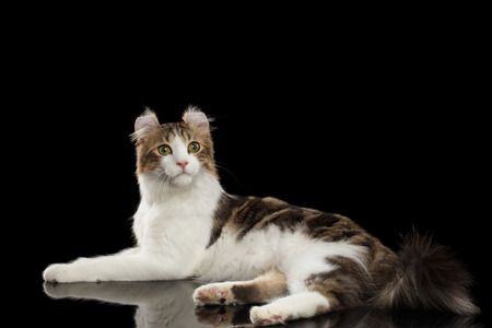 American Curl Cat Breed with twisted Ears, Lying in front of Black Isolated background