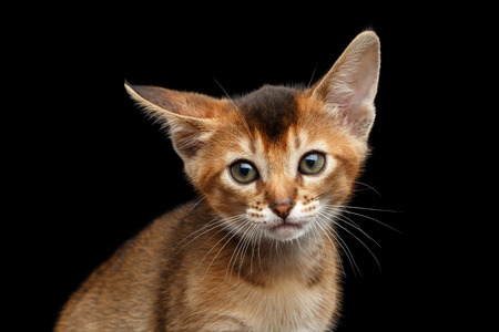 clumsy: Closeup portrait of Cute Abyssinian Kitty Curious Looking in Camera on Isolated Black Background, Front view, clumsy Ear Stock Photo