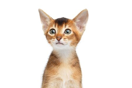 Close-up portrait of Cute Abyssinian Kitty Curious Looks on Isolated White Background, Front view Stock Photo