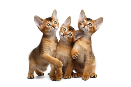 kitty cat: Three Cute Abyssinian Kitten Sitting and Curious Looks, Stare in Camera on Isolated White Background, Front view, Playing with ears