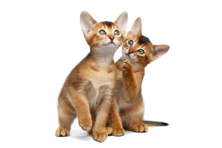 Two Playful Abyssinian Kittens Sits and Playing with each other on Isolated White Background, Front view Stock Photo
