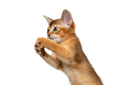 hind: Closeup Playful Abyssinian Kitty Standing on Hind legs and Catching Isolated White Background, Raising up paws Stock Photo