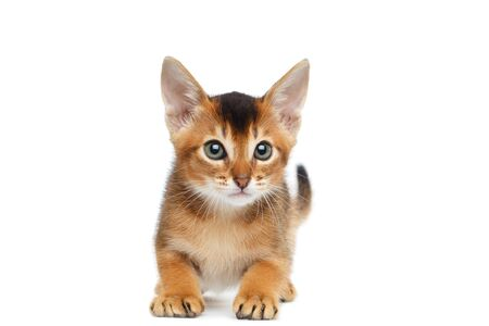 banter: Playful Abyssinian Kitty Looks up and Curious Standing on Isolated White Background, Front view, Raising forward paws Stock Photo