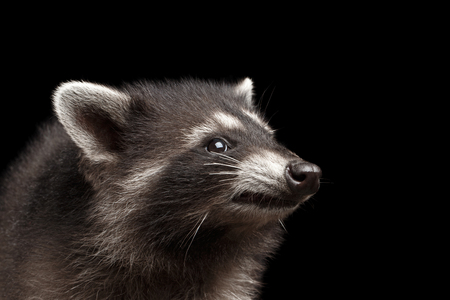 Closeup Portrait of Cute Baby Raccoon isolated on Black Background, Profile view