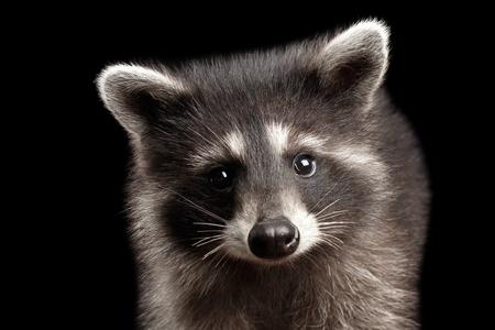 Close-up Portret van Leuke Baby Wasbeer geïsoleerd op zwarte achtergrond