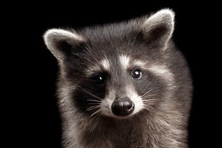 Closeup Portrait of Cute Baby Raccoon isolated on Black Background