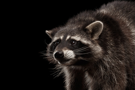Closeup Portrait of Raccoon Looking with Curious Face isolated on Black Background