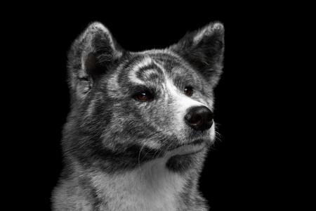 Closeup portrait of Akita inu Dog Alertness waiting on Isolated Black Background Stock Photo