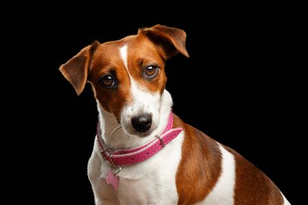 Closeup portrait of Cute face Jack Russell Dog Girl with Pink collar, on Isolated Black Background, Front view Stock Photo