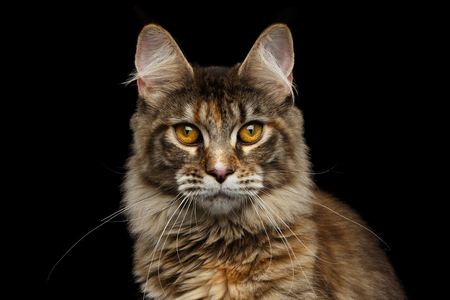 cat head: Closeup Portrait of Maine Coon Cat Head, Gaze Looking in Camera Isolated on Black Background